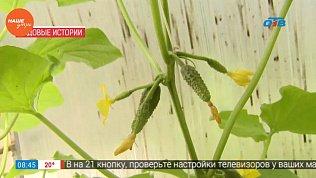 Эксперт рассказал, что такое пучковое цветение у огурцов