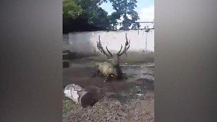 Марал Горыныч из Челябинского зоопарка устроил танец в грязи
