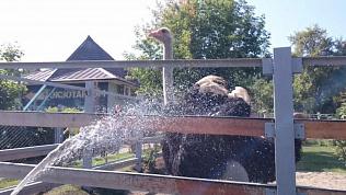 Страус Гарик устроил показательный танец перед принятием душа в челябинском зоопарке