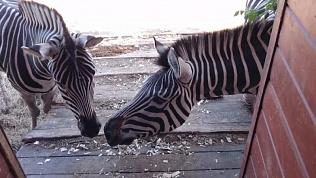 Сотрудники зоопарка пробуждают инстинкты у диких животных