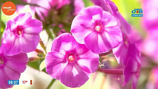 Наше УТРО на ОТВ – садовые истории о флоксах