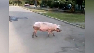 По улицам Челябинска гуляет огромная свинья