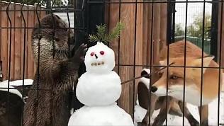 Хищники из челябинского зоопарка не поделили снеговика