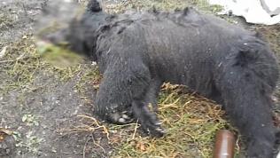 Сбежавший из зоопарка медведь растерзал пенсионера