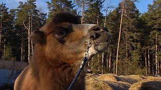 Верблюд Барсик предсказал погоду на предстоящую зиму