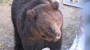 На горнолыжном курорте поселилась медведица Маня и два волка