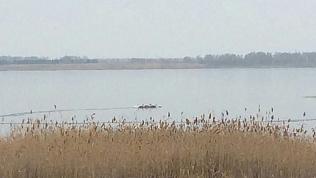 Южноуральцы бьют тревогу из-за лебедей на озере в ноябре