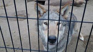 Волчица ледоедка удивила сотрудников зоопарка своим новым пристрастием