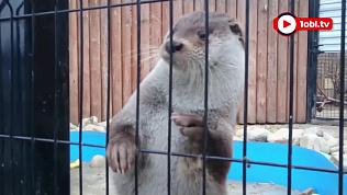 Выдра Ваня из Челябинского зоопарка предсказал, когда выпадет снег