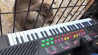 Выдра Ваня, эксклюзивно предсказавший в прямом эфире ОТВ погоду, впервые сыграл на синтезаторе