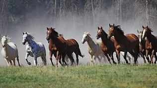 Четверых южноуральцев подозревают в угоне табуна лошадей за миллион рублей