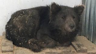 Собака с мордой медведя начала подпускать людей после психологической травмы. Видео