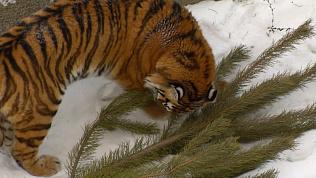 Непроданные елки установили в вольеры к хищникам