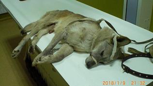 Собаку с перебитым спинным мозгом готовят к реабилитации