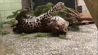 Пятнистый леопард из челябинского зоопарка устроил «обнимашки» с колючей елью
