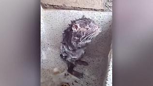 Намыленная крыса принимает душ в раковине автора видео