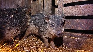 Кудрявые свиньи дают диетическое мясо