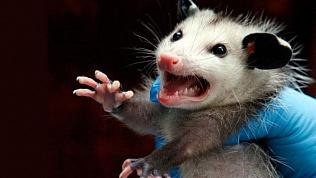 Агрессивная крыса кидалась на посетителей торгового комплекса