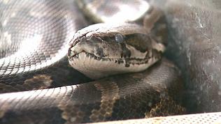 Лечение серьезных болезней змеями в Челябинске