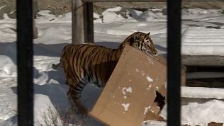 Коробки с сюрпризом подарили хищникам в челябинском зоопарке