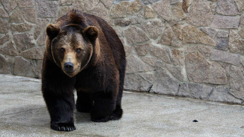 Весенний танец медведицы сняли в челябинском зоопарке
