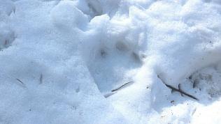 Звериный «тракт» выявил волков, лосей и глухарей на Таганае