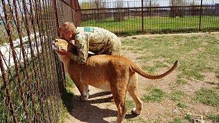 Южноуральская львица Лола готовится стать мамой