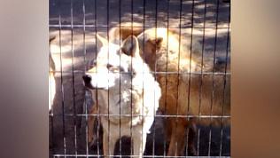 В челябинском зоопарке волки устроили «концерт» на 9 мая