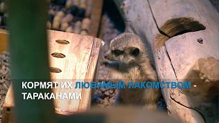 В челябинском зоопарке родились пять малышей сурикатов