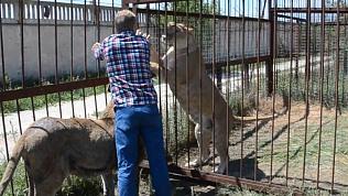 Спасенная челябинским зоозащитником львица Лола родила первенца