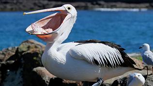 Спасенного жителями Варненского района пеликана впервые показали посетителям челябинского зоопарка