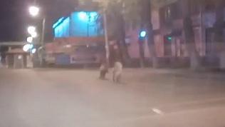Челябинский водитель снял на видео кабана на оживленной улице
