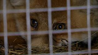 Челябинские зоозащитники спасли попавшего в ДТП лисенка