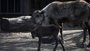 Северные оленята из челябинского зоопарка получили цветочные имена