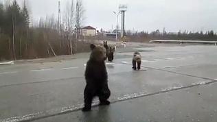 Автомобилисты прикормили медвежью семью на трассе