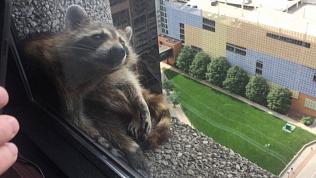 Пользователей интернета покорил енот, взобравшийся по стене на крышу небоскреба