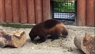 Необычная игра росомахи Биры из Челябинского зоопарка попала на видео