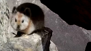 Уникального «волшебного кролика» запечатлели в Китае
