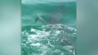 Жестокую схватку акулы-молота с атлантическим тарпоном снял на камеру очевидец