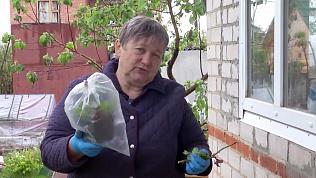 Надежда Черненко расскажет как получить собственный саженец розы из обрезок