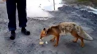 Бесстрашную лису сняли на видео южноуральцы