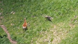 Погоня самки оленя за волком попала на видео