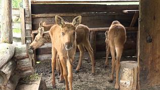 Сразу четверо лосят поселились в национальном парке «Зюраткуль»