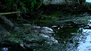 Килограммы мертвой рыбы в реке шокировали южноуральцев