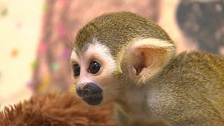 Еще один малыш саймири появился в челябинском зоопарке