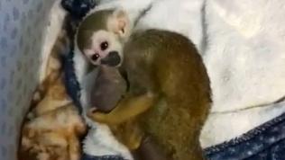Трогательная забота саймири о новорожденном мангусте попала на видео