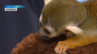 Саймири Созар стал опекуном новорожденного мангуста