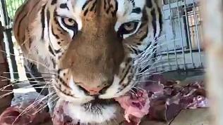 В зоопарке Челябинска готовятся поздравлять тигров