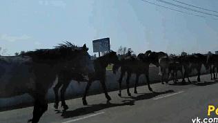 Копейским автолюбителям проезд преградил табун лошадей