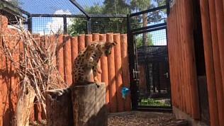 Самую красивую дикую кошку выбирают в Челябинском зоопарке
